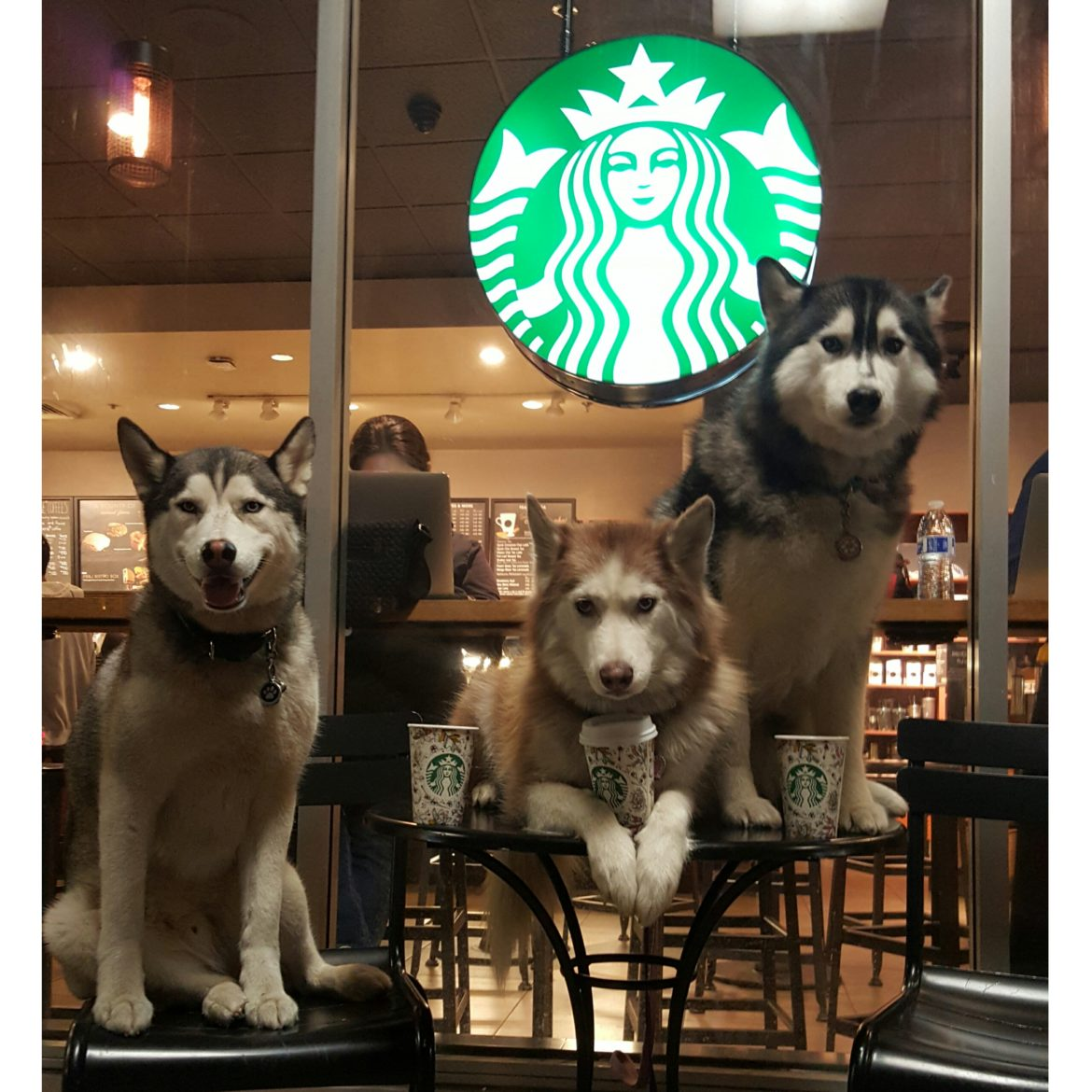 The Husky Trio Love Starbucks and the Fall Cups!