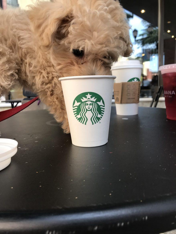 starbucks canada puppuccino